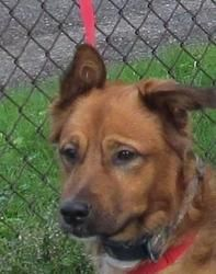 FOUND IN CANTON, OHIO!!! NOW ADOPTABLE!!!  MAURICE (very sweet)6 Maurice is an adoptable Retriever Dog in Canton, OH. Picked up as a stray on 9/15. Available on 9/19$ 86.00 fee includes license, 5 way shot if able and available. $50.00 goes to the cost of spay...
