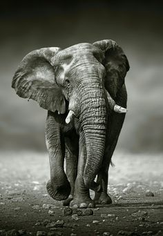 Find African Elephant Loxodonta Africana Approach Front stock images and royalty free photos in HD. Explore millions of stock photos, images, illustrations, and vectors in the Shutterstock creative collection. of new pictures added daily. Photo Elephant, Elephant Poster, Elephant Love, Bull Elephant, Lion Poster, Elephant Canvas, Elephant Artwork, Elephant Head, Elephant Print