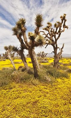Goldfields and Joshua trees, Joshua Tree National Park, California