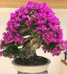 . Bougainvillea Bougainvillea Bonsai, Bonsai Plants, Bonsai Garden, Garden Plants, Ikebana, Beach Weather, Bonsai Styles, Flower Crafts, Garden Projects