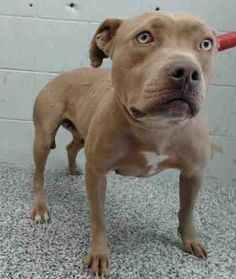 CARLA #A480038 (MUST EXIT ON 3/21) Kennel 5 stray/field caught in a trap listed as fearful I am a female, tan and white Pit Bull Terrier. I have been at the shelter since Mar 16, 2015. I may be available for adoption on Mar 21, 2015.... San Bernardino City Shelter - Phone: 909-384-1304, Address: 333 Chandler Pl., San Bernardino, CA 92408. https://www.facebook.com/photo.php?fbid=10203209358988686&set=a.3186215868195.111836.1649756531&type=3&theater