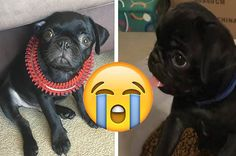"People Are Searching For A Baby Pug Named ""Egg"" After He Was Stolen From His Owner During A Walk https://www.buzzfeed.com/bradesposito/find-egg  #pug  #dog #dogs"