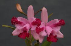Cattleya intermedia - Exposição de Gramado 2010 - 30