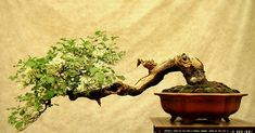 The word Bonsai comes from the Chinese word 'pun sai' which means tree in a pot. Bonsai is an art form that recreates nature's archite.