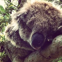 Wild koala. Cape Otway. Wild Animals, Places To Travel, Cape, Bear, Instagram Posts, Mantle, Cabo, Destinations, Holiday Destinations