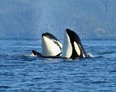 Vancouver Island - Top 10 Best Spots For Whale Watching