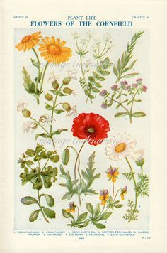 1930s+Antique+flower+art+print+Flowers+of+by+VintageInclination