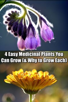 4 Easy Medicinal Plants You Can Grow (& Why to Grow Each) - Growing your own medicinal plants allows you to be more self-sufficient. It also potentially allows you to save money and reduce your dependence on shop brought pharmaceuticals. In a SHTF situation this may be your only source of any medicine.