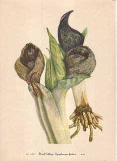 North American Wild Flowers Skunk Cabbage by Mary Vaux Walcott (1860-1940) Smithsonian Institute, 1925 by artsagclassicnature. Explore more products on http://artsagclassicnature.etsy.com