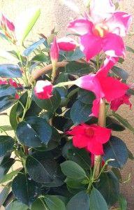Flores a domicilio. La mandevilla, una trepadora con flores muy hermosas.