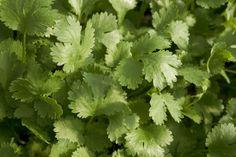 Tasty Herb Beats Food Poisoning, Even MRSA!