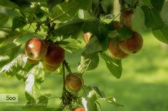 Apples by PhilGeorge  IFTTT 500px apples beautiful color food fruit green light orange orchard red summer sun tree yello