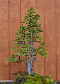 Kabudachi bonsai picea