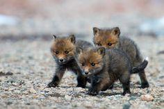 Three Fox Cubs, by Ivan Kislov, via 500px