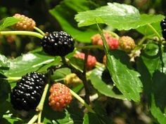 How to Propagate New Blackberry Plants from Existing Blackberry Roots