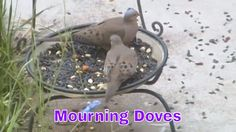 At The  Bird Feeder:Mourning Doves!