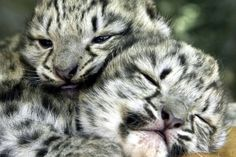 Awwww Baby snow leopards!