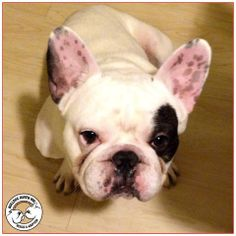 ❤ Who can resist naked Bubba?!  This little peanut is very serious about making friends and snuggling peeps!  Bubba is almost 3 yrs old. He is still in Foster Rehab with Bulldog Haven NW and not ready for adoption. But he is working hard to every box checked so he can find that FOREVER home.  Interested?  Start with an Adoption Application @ http://www.bulldoghavennw.org ❤