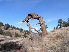 Wind damaged tree by chuha Wind Damage, Weather Vanes, Bouldering, Trees To Plant, Colorado, Plants, Aspen Colorado, Tree Planting, Plant