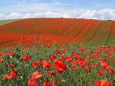 ▶ In Flanders Fields by Lieutenant Colonel John McCrae, MD Canadian Army in honor of Veteran's Day and Remembrance Day (Canada, UK) Beautiful Flowers, Beautiful Places, Beautiful Gardens, Remembrance Sunday, Flanders Field, In Natura, Anzac Day, Red Poppies, Poppy Flowers