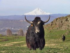 Birthday, Christmas, Valentine's Day... I would gladly accept a yak on any one of these occasions. :)