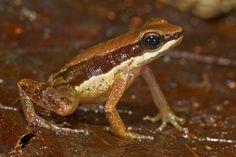 Allobates amissibilis  © Philippe Kok / WWF España - Científicos descubren más de 400 nuevas especies en la inmensidad del Amazonas