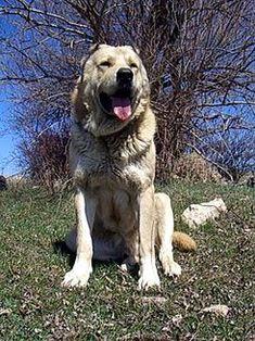 El Gampr armenio (en armenio, գամփռ gamp'ṙ) es una raza de perro guardián de ganado originario del Altiplano Armenio, lo que incluye los territorios de la actual región de Anatolia Oriental y la República de Armenia.  Se trata de una raza criada por la población local mediante una selección primitiva. Aunque no está reconocida por ningún Kennel Club u organización como cría selectiva, se trata de una raza distintiva,1 objeto de una intensa investigación genética.