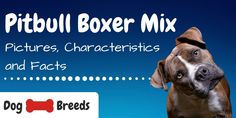 Are you looking for a powerful and loyal companion dog? You may be surprised to find that the Pitbull Boxer Mix Breed is faithful, energetic and affectionate. The post Pitbull Boxer Mix Breed: Pictures, Characteristics and Facts appeared first on CanineWeekly.com.