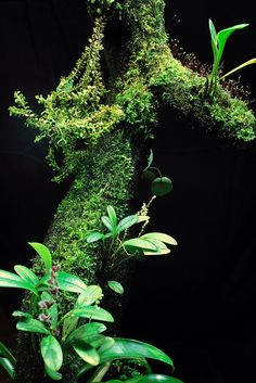 Stelis eublepharon, Stelis nitens, Pleurothallis fasciculata, Lycopodium sp. (fern), Pleurothallis aff. aundai (extreme small specie), Masdevallia dunstervilleii, Bromelia sp.