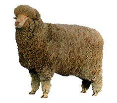 Breeds of Livestock - Delaine Merino Sheep