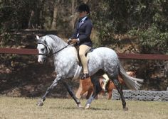 """Our beautiful Welsh B Gelding """"Imperial Muskrat"""", bred by Imperial Pony Stud and owned/shown by Stevenson Family Show Stables, Young, NSW, Australia. www.stevensonfamilyshowstables.com"""