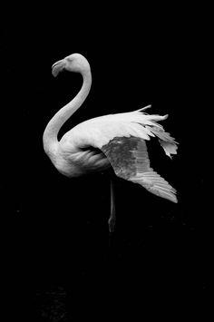 https://flic.kr/p/a6F1Te | Flamingo | Nikon D300 | Nikkor18-200@200mm | ƒ/5.6 | ISO400 | 1/500   www.SergioAmiti.com | Request license via GettyImages