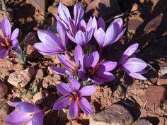 açafrão (flor)