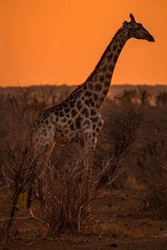 A beautiful Giraffe posing at sunset in Zambezi National Park, Zimbabwe! I'm in love, what about you?