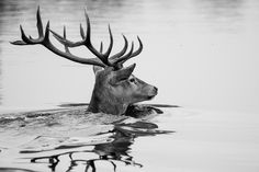Swimming Deer by Luke Callaghan on 500px
