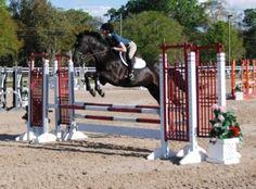 Bay Holsteiner Gelding - www.FLSportHorse.com