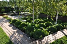 silver birch, white agapanthus against a green topiary garden by oneabode