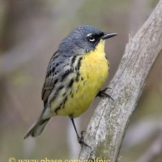 Kirtland's Warbler | World of Animal