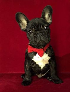 'Suiting up for Santa', French Bulldog Puppy in a Bow Tie.