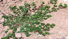 PURSLANE- many health benefits. make a tea infusion with tbsp. & cup of boiled water or eat like a vegetable. Herbal Medicine, Natural Medicine, Home Remedies, Natural Remedies, Garden Edger, Diy Planters, Medicinal Herbs, Herbal Plants, Houseplants