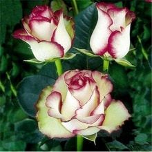 Cheap rose seeds, Buy Quality seeds rose directly from China flower seeds Suppliers: Hot Sale! Fresh Flower Seeds Rose Seeds Bonsai Rosas Flower,Natural Growth,The Germination Rate 10 Pcs Flower Seeds For Sale Amazing Flowers, Beautiful Roses, My Flower, Beautiful Gardens, Flower Power, Beautiful Flowers, Pretty Roses, Unique Roses, Exotic Flowers