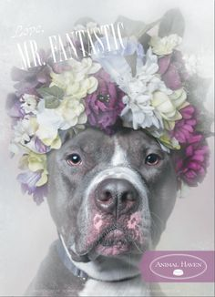 Sophie Gamand, award-winning photographer and animal advocate known for her work with shelter dogs. Author of Pit Bull Flower Power, a series of adoptable pit bulls wearing flower crowns. Flower Power, Mister Fantastic, Dog Fighting, Photo Series, Pit Bulls, Mans Best Friend, Fur Babies, Cute Animals, Flowers