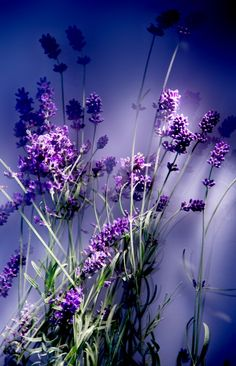 Which LAVENDER is best/safest? The answer is: Lavender (Lavandula angustifolia - sometimes called Lavandula officinalis). ••Lavender Absolute has a moderate risk of skin sensitization & causes more reactions than Lavender EO. Max dermal use is .1%. •••Lavandin Absolute max dermal level is .03% ••Lavandin Essential Oil may inhibit blood clotting ((☻eeeek!!! I have some Blends w/this in it!)) ••Spike Lavender EO may be mildly neurotoxic, based on on camphor content. Max dermal use level 19%.