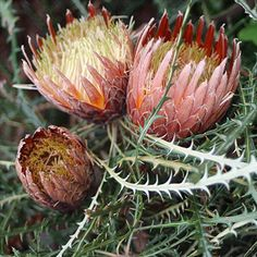 Banksia Dryandra Proteoides is a small to medium shrub to about metres high by a similar width with large brownish-yellow flower heads up to 100 mm in diameter occurring in spring. Australian Native Garden, Australian Native Flowers, Australian Plants, African Plants, Australian Wildflowers, Soil Improvement, Garden Inspiration, Garden Ideas, Flower Farm