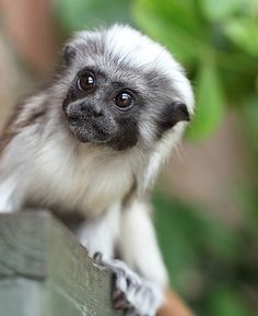 Cotton Top Tamarin - by Jason Brown Photography