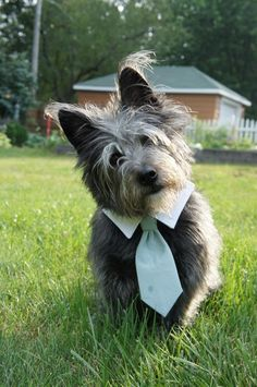Pictures of Cairn Terrier Dog Breed Puppy