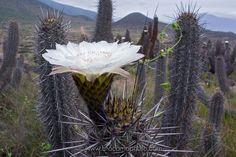 Close up of Giant flower of Echinopsis deserticola cactus, Atacama desert, Chile