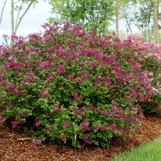 Give your gardening landscape a classical feel with our selection of beautiful Lilac bushes. Browse more unique Lilac trees from White Flower Farm. Purple Plants, Pink Plant, Big Plants, Flower Plants, Flowers Garden, Lilac Tree, Purple Lilac, Purple Flowers, Dark Purple