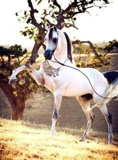Beautiful Arabian horse pawing at the sunset.