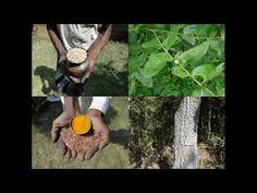 Medicinal Rice P5O Formulations for Melica Excess: Pankaj Oudhia's Medic...
